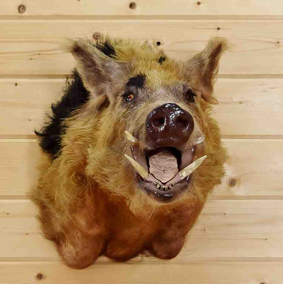 Wild Hog Taxidermy Mount