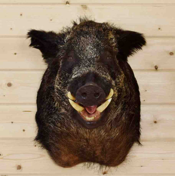 Hog Taxidermy Mount
