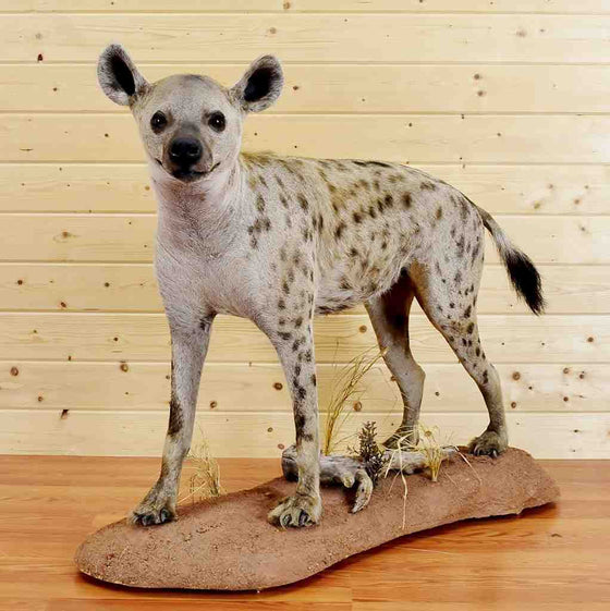 Spotted Hyena Taxidermy Mount