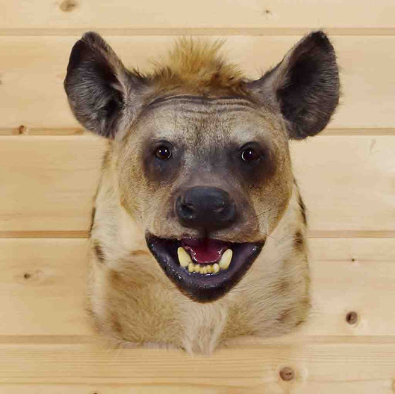 Hyena Taxidermy Mount for Sale