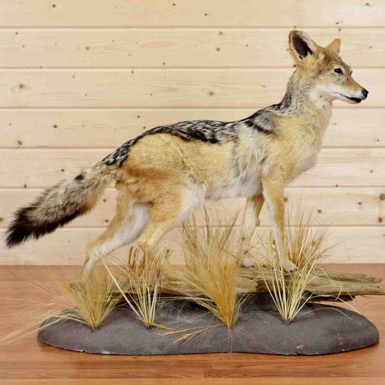 Black Backed Jackal Taxidermy Display for Sale