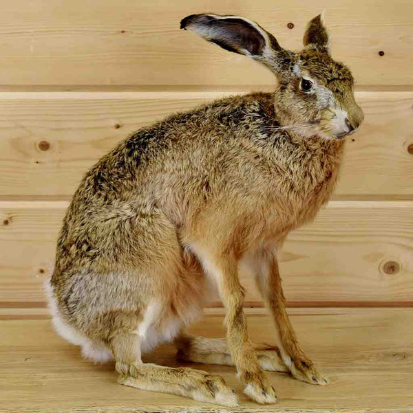 Jackrabbit Taxidermy Mount Sw5308 For Sale At