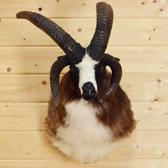 Jacob's four horn ram taxidermy mount