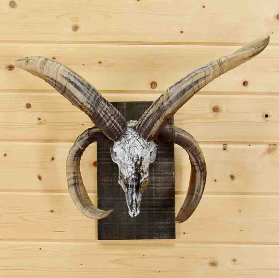 Jacob's four horn ram skull taxidermy mount