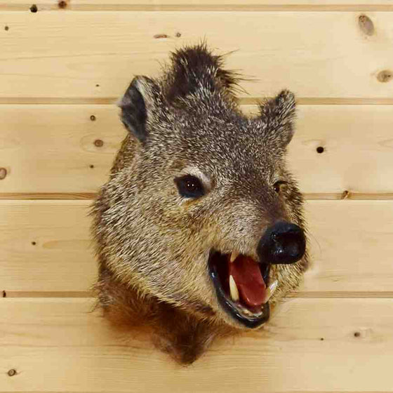 Javelina Taxidermy Mount
