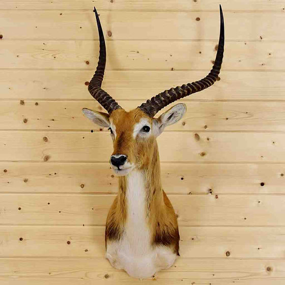 Kafue Flats Lechwe Taxidermy Mount for Sale at Safariworks