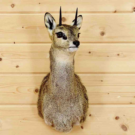 Klipspringer Taxidermy for Sale