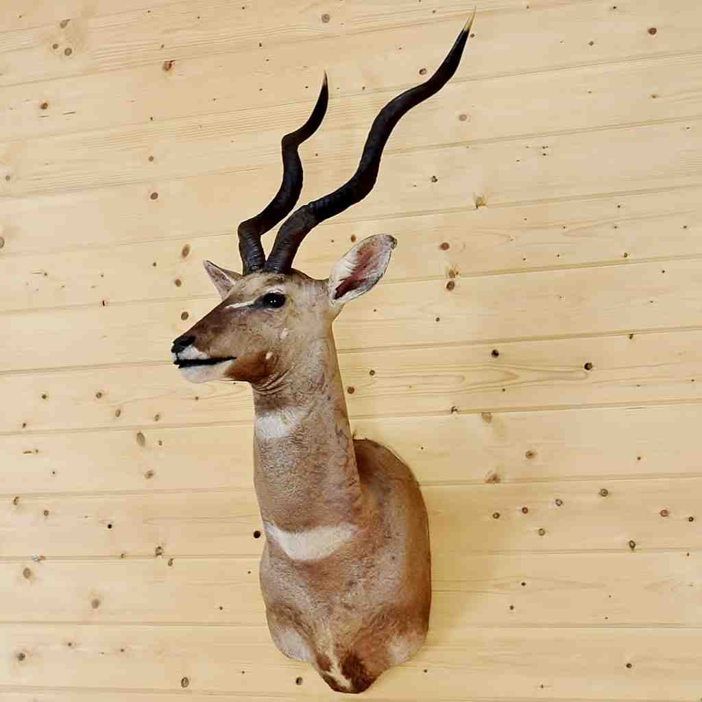 Lesser Kudu Taxidermy Mount SW4581 at Safariworks Taxidermy Sales