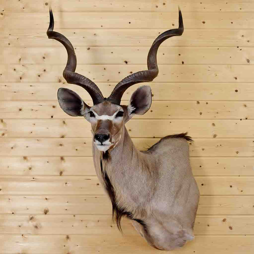 Kudu Taxidermy Mount Sw4780 For Sale At Safariworks