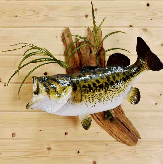 Bass Taxidermy for Sale