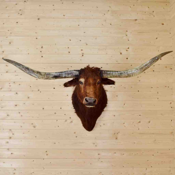 Texas Longhorn Shoulder Mount