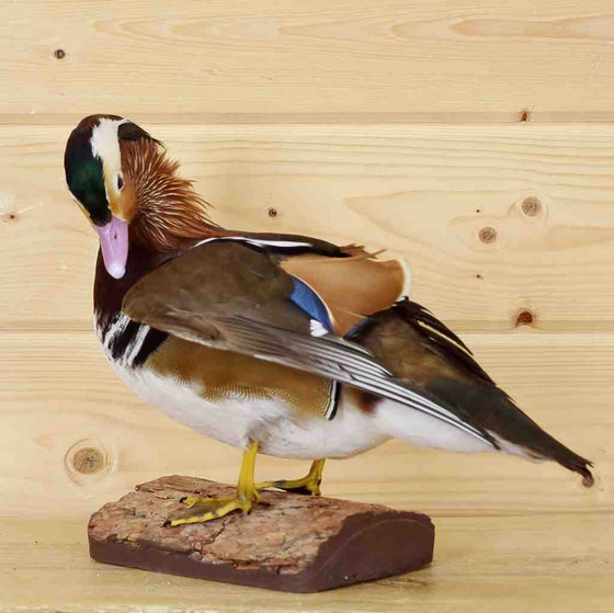 Mandarin Duck Taxidermy