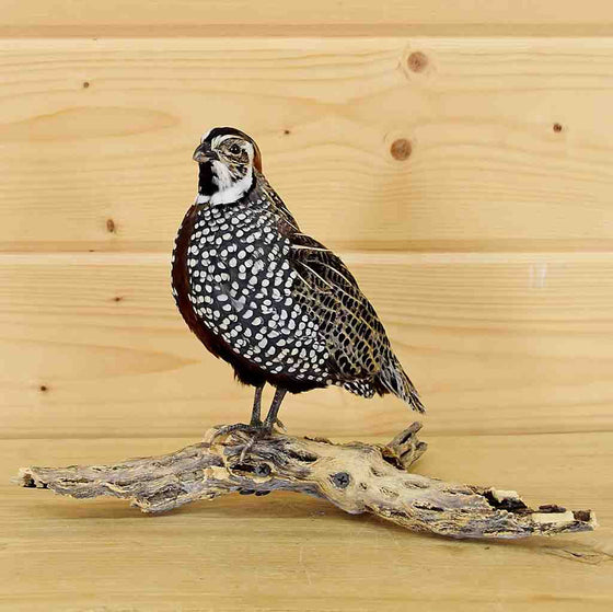 Montezuma Quail Taxidermy