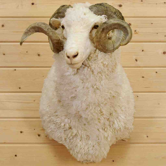 Merino Sheep Mount for Sale
