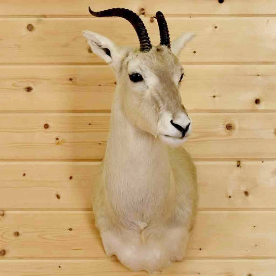 Mongolian Gazelle Taxidermy for Sale