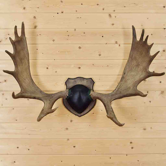Moose Antlers for Sale