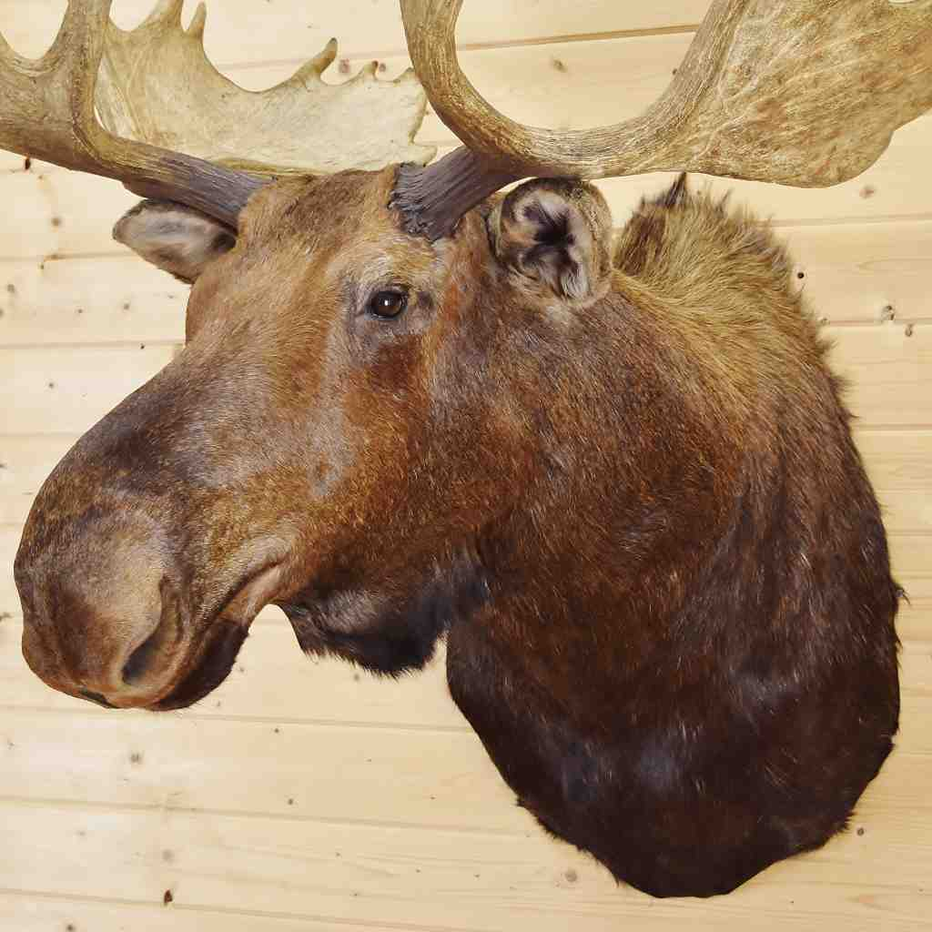 Canadian Moose Taxidermy Mount - SW5434