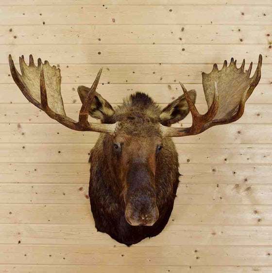 Moose Head for Sale