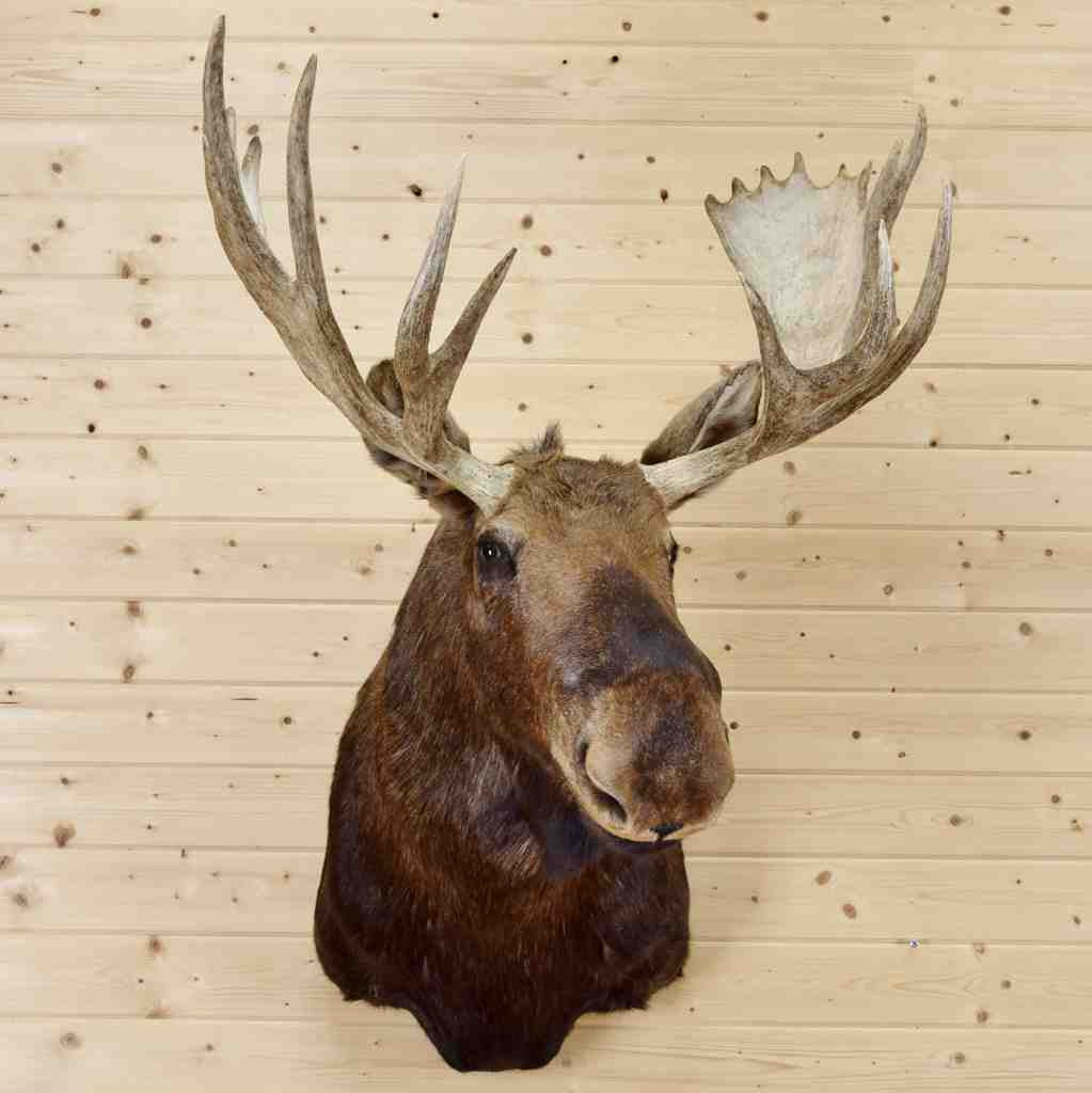 shiras moose head mount for sale sw4281 at safariworks taxidermy sales