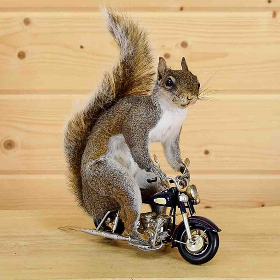 Motorcycle Squirrel Taxidermy for Sale