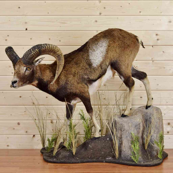 Mouflon Taxidermy Mount