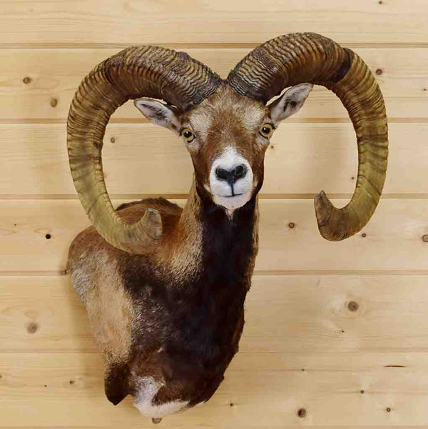 Mounted Mouflon Ram Sw4797 For Sale At Safariworks