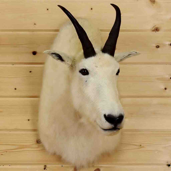 Mountain Goat Taxidermy Mount