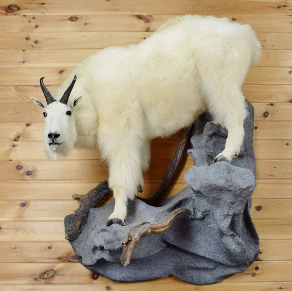 Mountain Goat Taxidermy Mount Gold Medal Sw3583 For