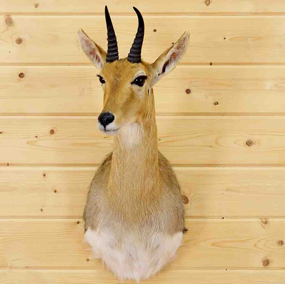 Mountain Reedbuck Taxidermy