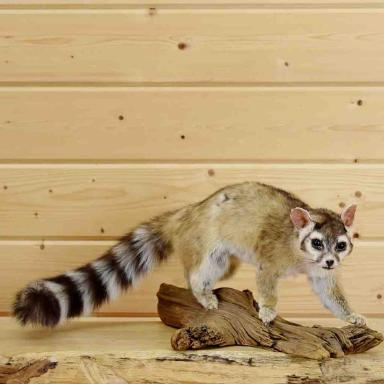 Ring-Tailed Cat Taxidermy Mount for Sale