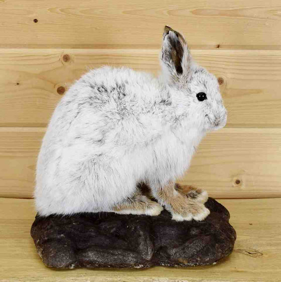 Snowshoe Hare Taxidermy Mount - SW5736