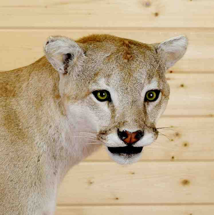 Mountain Lion Mount SW4380 For Sale At Safariworks