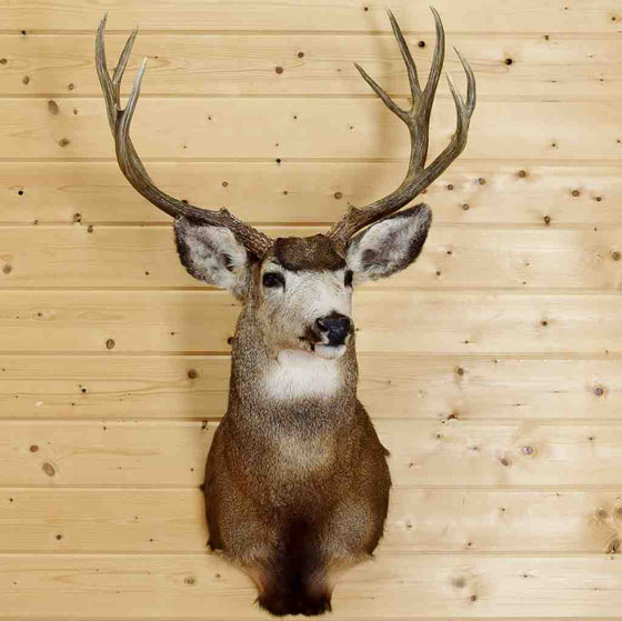Mule Deer Taxidermy Mount