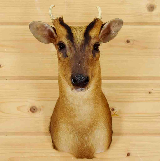 Muntjac Taxidermy Mount