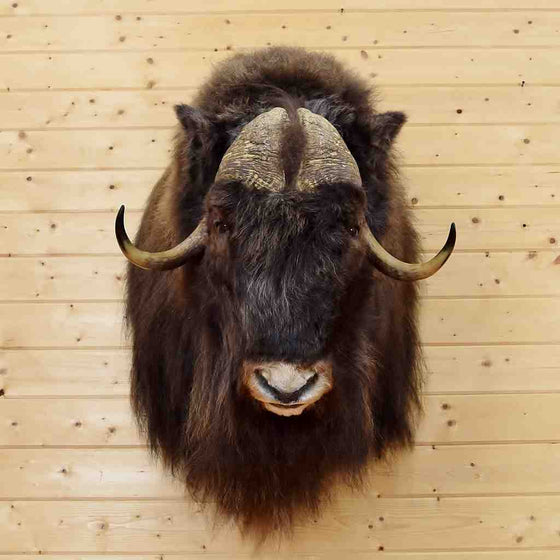 Muskox Hunting Trophy for Sale at Safariworks
