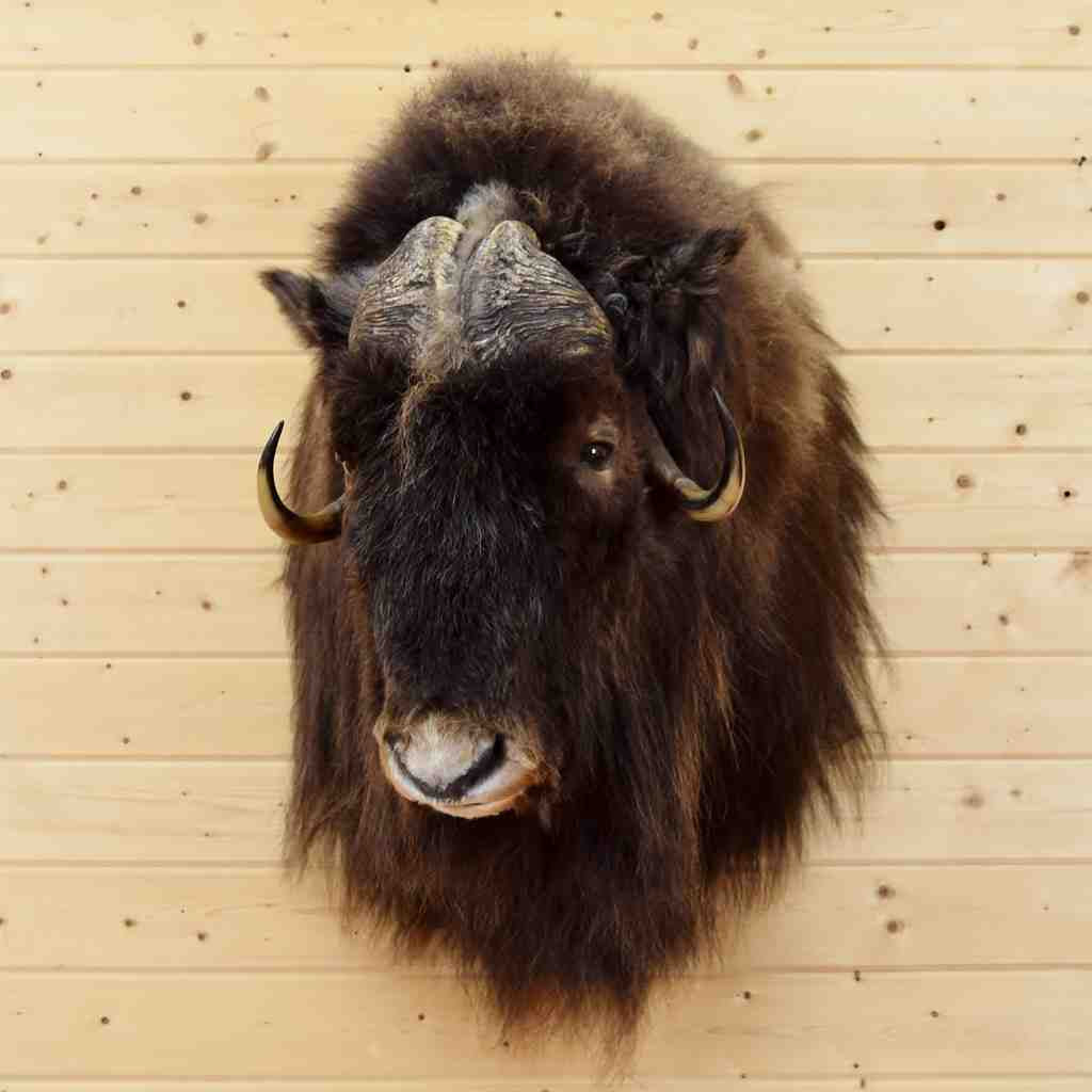 Muskox Taxidermy Mount SW5099 For Sale At Safariworks