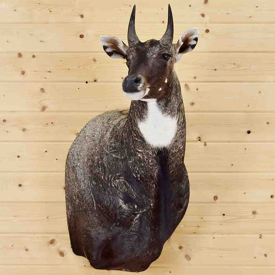 Nilgai Taxidermy Mount