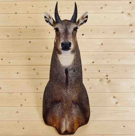 NIlgai Taxidermy Mount for Sale