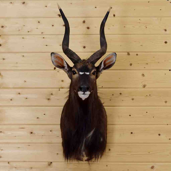 Nyala Taxidermy for Sale