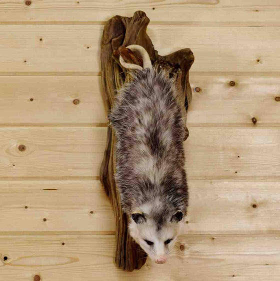 Hanging Opossum Taxidermy Mount SW4191