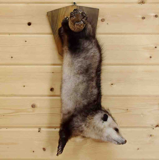 Opossum Taxidermy Mount