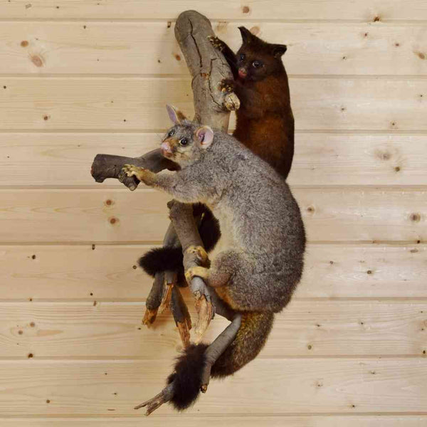 New Zealand Possums Taxidermy For Sale At Safariworks