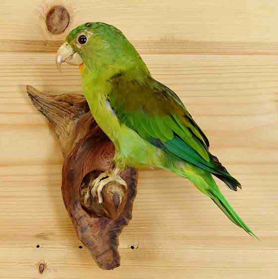 Orange-chinned Parakeet Taxidermy Mount for Sale