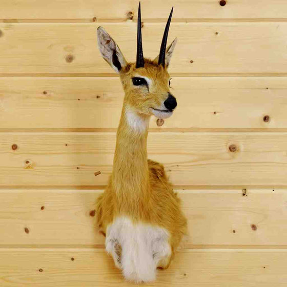 Oribi Taxidermy Mount