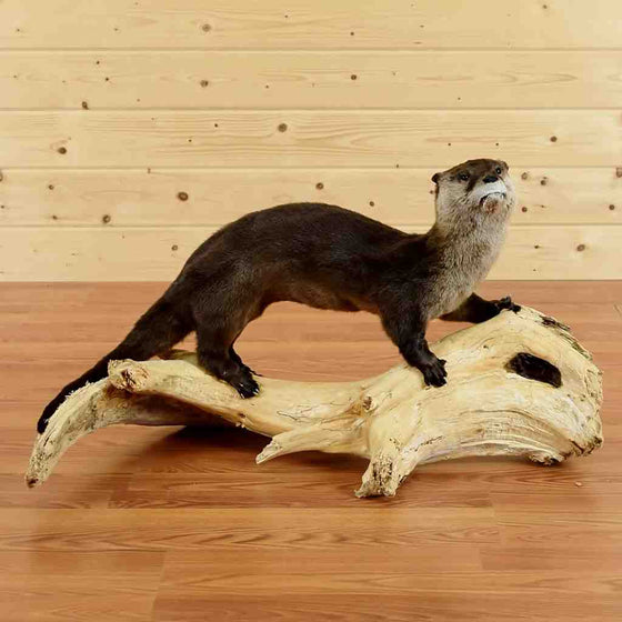Otter Taxidermy Mount