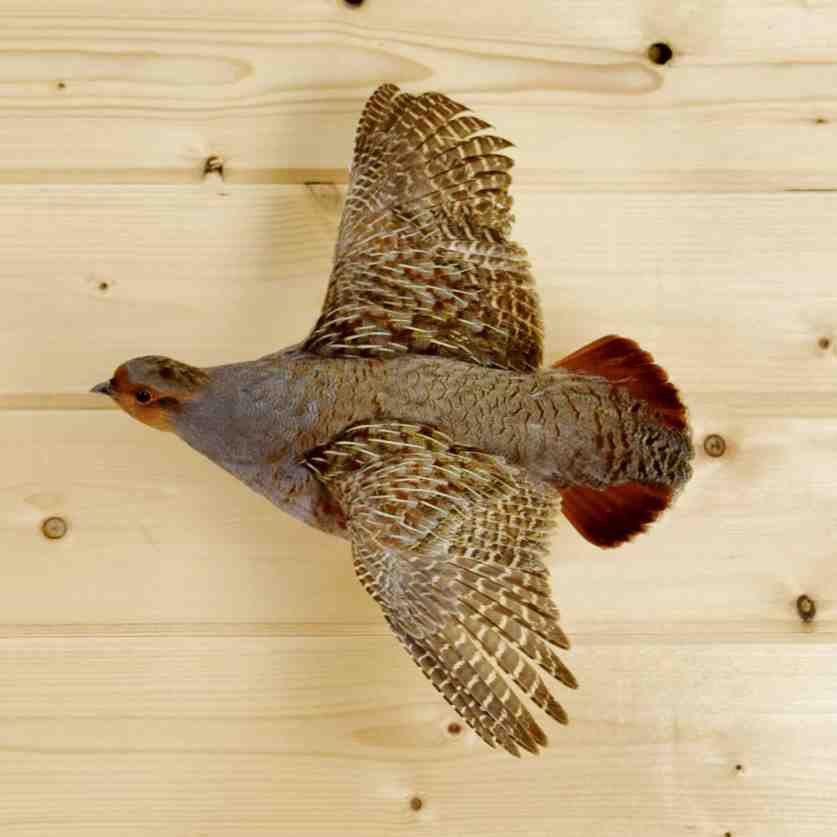 Hungarian Partridge Taxidermy Mount - SW4145