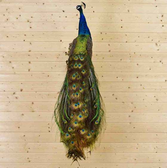 Peacock Taxidermy for Sale