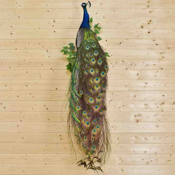 Indian Peacock Taxidermy Mount