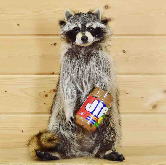 Peanut Butter Raccoon Taxidermy for Sale