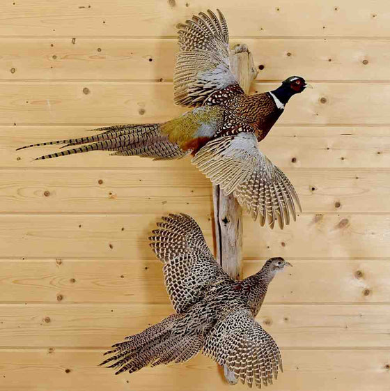 Pheasant Taxidermy Mount